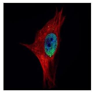 Immunocytochemistry/ Immunofluorescence - Anti-PPWD1 antibody (ab154040)
