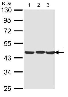 Western blot - Anti-TDP43 antibody (ab154047)
