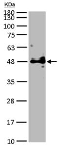 Western blot - Anti-Pofut1 antibody (ab154051)