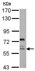 Western blot - Anti-AP4 antibody (ab154057)