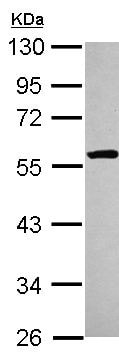 Western blot - Anti-ETEA antibody (ab154064)
