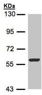 Western blot - Anti-FMO3 antibody (ab154083)