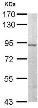 Western blot - Anti-JIP2 antibody (ab154090)