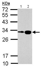 Western blot - Anti-Histone H1.0 antibody (ab154111)