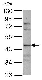 Western blot - Anti-SIGLEC8 antibody (ab154115)