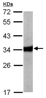 Western blot - Anti-HAAO antibody (ab154125)