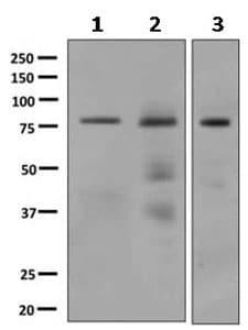 Western blot - Anti-LDB3 antibody [EPR10127] (ab154183)