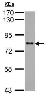Western blot - Anti-KCTD3 antibody - C-terminal (ab154242)