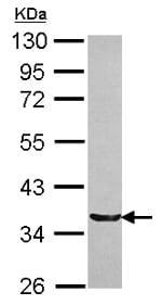 Western blot - Anti-TRIM17 antibody (ab154250)