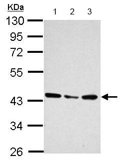 Western blot - Anti-LOC51035 antibody (ab154265)