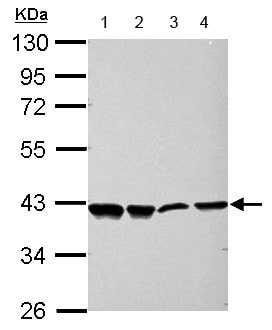 Western blot - Anti-NRF1 antibody (ab154269)