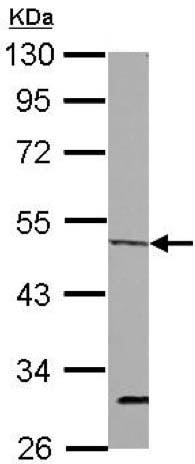 Western blot - Anti-ORC4L antibody (ab154288)