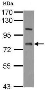 Western blot - Anti-LSS antibody (ab154307)