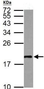 Western blot - Anti-MAFG antibody (ab154318)