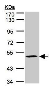 Western blot - Anti-MAZ antibody (ab154323)