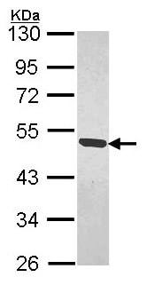 Western blot - Anti-MAGEB1 antibody (ab154363)