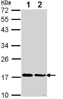 Western blot - Anti-Cyclophilin A antibody (ab154388)