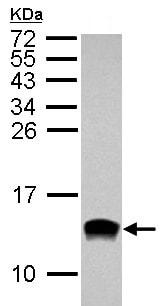 Western blot - Anti-IL8 antibody (ab154390)