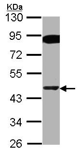 Western blot - Anti-PPAR delta  antibody - C-terminal (ab154395)