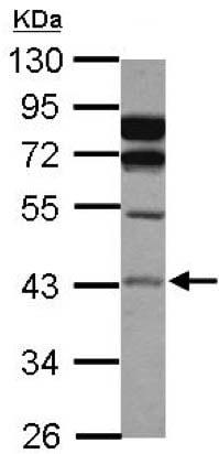 Western blot - Anti-ASAH1 antibody (ab154401)