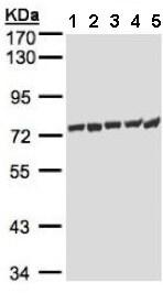 Western blot - Anti-HSPA1L antibody (ab154403)