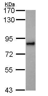 Western blot - Anti-KIFC3 antibody (ab154419)