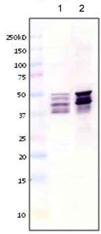 Western blot - Anti-GFAP antibody [ZRF-1] (ab154474)