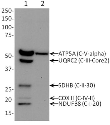 Western blot -  Rho0  Whole Cell Lysate (ab154479)