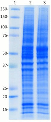 SDS-PAGE -  Rho0  Whole Cell Lysate (ab154479)