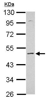 Western blot - Anti-KCNS2 antibody (ab154482)