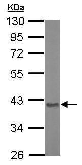 Western blot - Anti-ASPA antibody (ab154503)