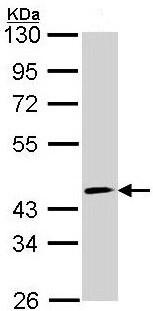 Western blot - Anti-FOXO4 antibody (ab154520)
