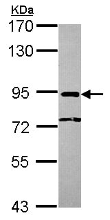 Western blot - Anti-NCBP1 antibody - N-terminal (ab154532)