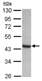 Western blot - Anti-PAK1 interacting protein 1 antibody (ab154544)