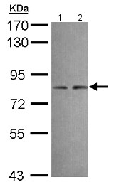Western blot - Anti-DIP13B antibody (ab154545)
