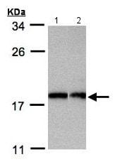 Western blot - Anti-Apc11 antibody (ab154546)
