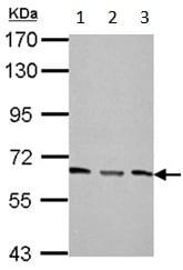 Western blot - Anti-PPP2R1A antibody (ab154551)