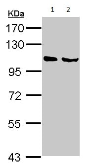 Western blot - Anti-NELL1 antibody (ab154561)
