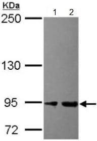 Western blot - Anti-Ctip1 antibody (ab154574)