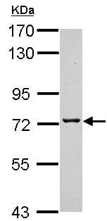 Western blot - Anti-TMCO3 antibody (ab154581)