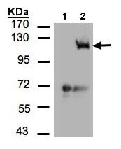 Western blot - Anti-PI 3 Kinase catalytic subunit gamma antibody - C-terminal (ab154598)