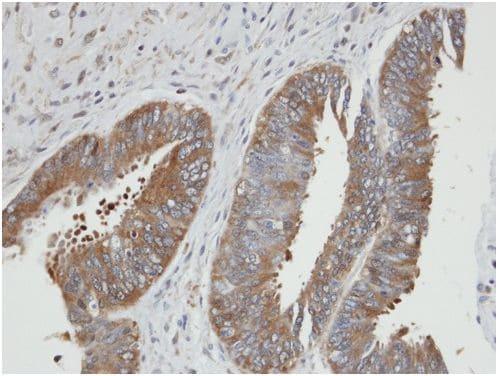 Immunohistochemistry (Formalin/PFA-fixed paraffin-embedded sections) - Anti-PGK2 antibody (ab154608)