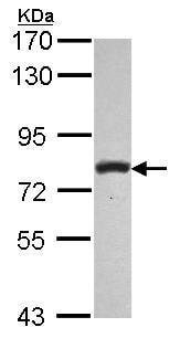 Western blot - Anti-PLCD1 antibody (ab154610)