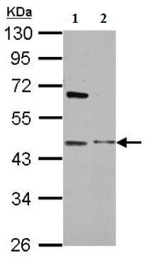 Western blot - Anti-MAP3K12 binding inhibitory protein 1 antibody (ab154623)