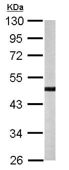 Western blot - Anti-YANK2 antibody (ab154657)