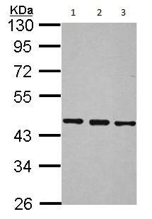 Western blot - Anti-BRF2 antibody (ab154658)