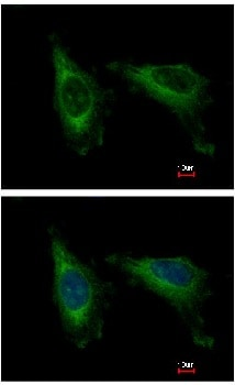 Immunocytochemistry/ Immunofluorescence - Anti-CDC37L1 antibody (ab154666)