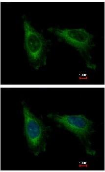 Immunocytochemistry/ Immunofluorescence - Anti-CDC37L1 antibody (ab154666)