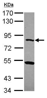 Western blot - Anti-CPXM antibody (ab154701)