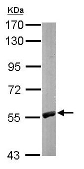 Western blot - Anti-RCC2 antibody (ab154705)